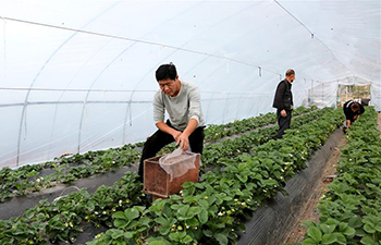 Famers work in winter inside greenhouses in China's Shandong